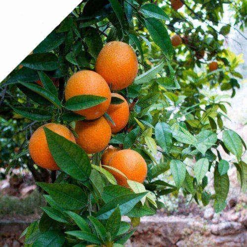 Naranjas sin seleccionar naturales