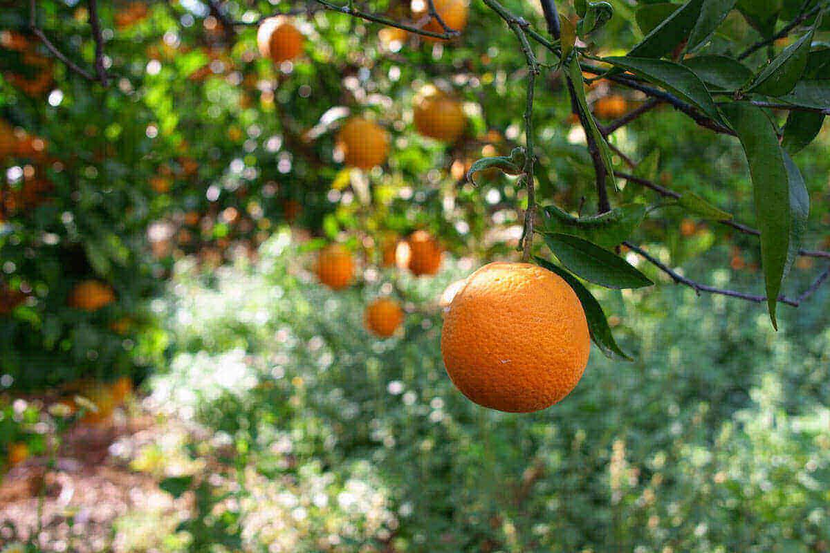 Naranjas de zumo Satisfacción