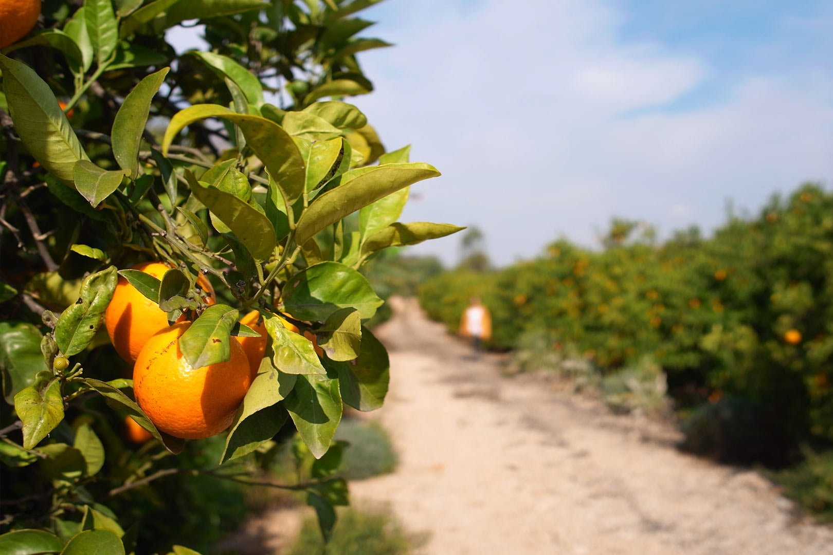 Naranjas de zumo Frescas