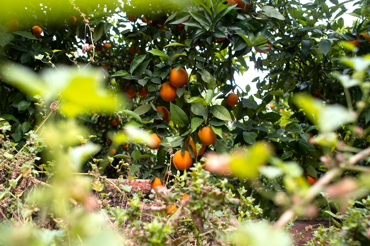 Naranjas de zumo Calidad