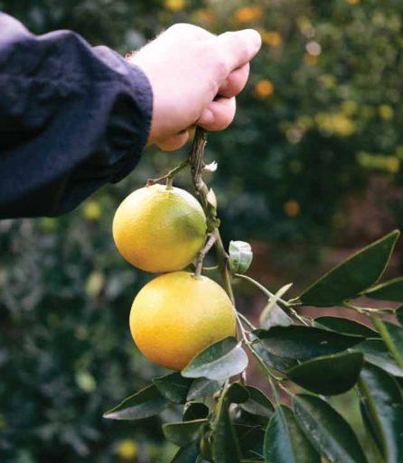 Naranjas Precio