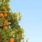El ciclo de vida del naranjo